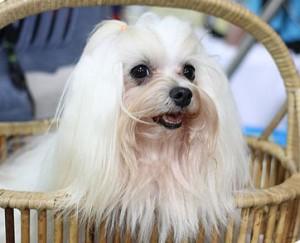Стрижка со штанишками собаки породы Мальтийская болонка, Русская цветная болонка