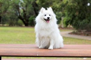 Гигиеническая стрижка, вычес собаки породы Средний шпиц (30-41 см в холке)