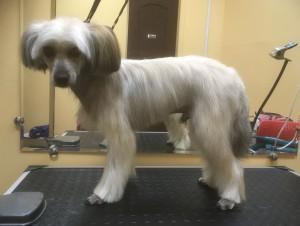 Гигиеническая стрижка собаки породы Китайская хохлатая Пуховая