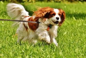 Гигиеничеcкая стрижка собаки породы Кинг-чарльз спаниель