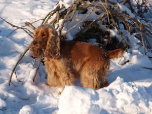Общая стрижка собаки породы Английский спаниель
