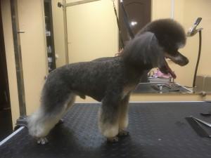 Стрижка под машинку собаки породы Той-пудель (до 28 см в холке)