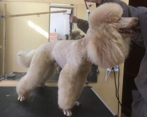 Стрижка со штанишками собаки породы Малый пудель (до 45 см в холке)
