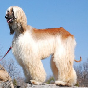 Cтрижка со штанишками собаки породы Афганская борзая