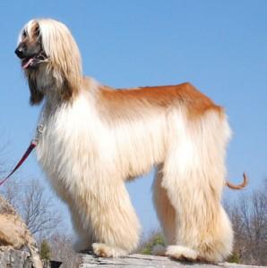 Общая стрижка собаки породы Афганская борзая