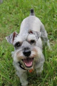 Стрижка по стандарту с триммингом собаки породы Миттельшнауцер