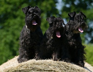 Стрижка без тримминга собаки породы Ризеншнауцер