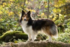 Стрижка по контуру собаки породы Шелти