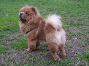 Стрижка по контуру собаки породы Чау-Чау