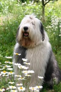 Cтрижка со штанишками собаки породы Бобтейл