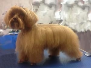 Стрижка по стандарту породы собаки породы Петербургская орхидея