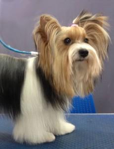Стрижка со штанишками собаки породы Бивер-йорк