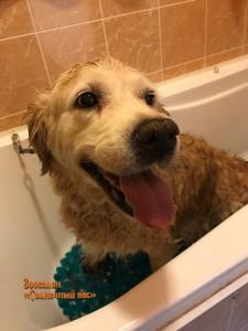 Мытье, сушка, вычес, подстригание когтей и чистка ушей собаки породы Золотистый ретривер