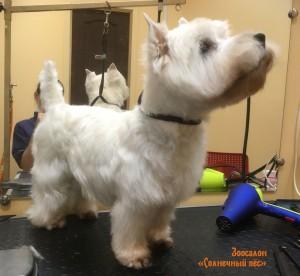 Стрижка по стандарту с триммингом собаки породы Вест-хайленд-уайт-терьер