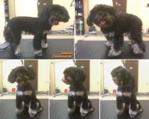 Гигиеническая стрижка собаки породы Петербургская орхидея