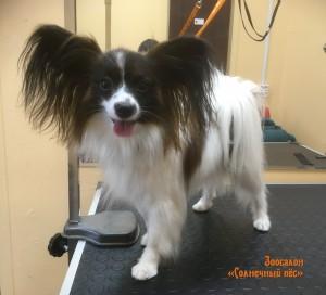 Общая стрижка собаки породы Папильон