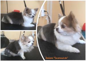 Общая стрижка собаки породы Чихуа-хуа